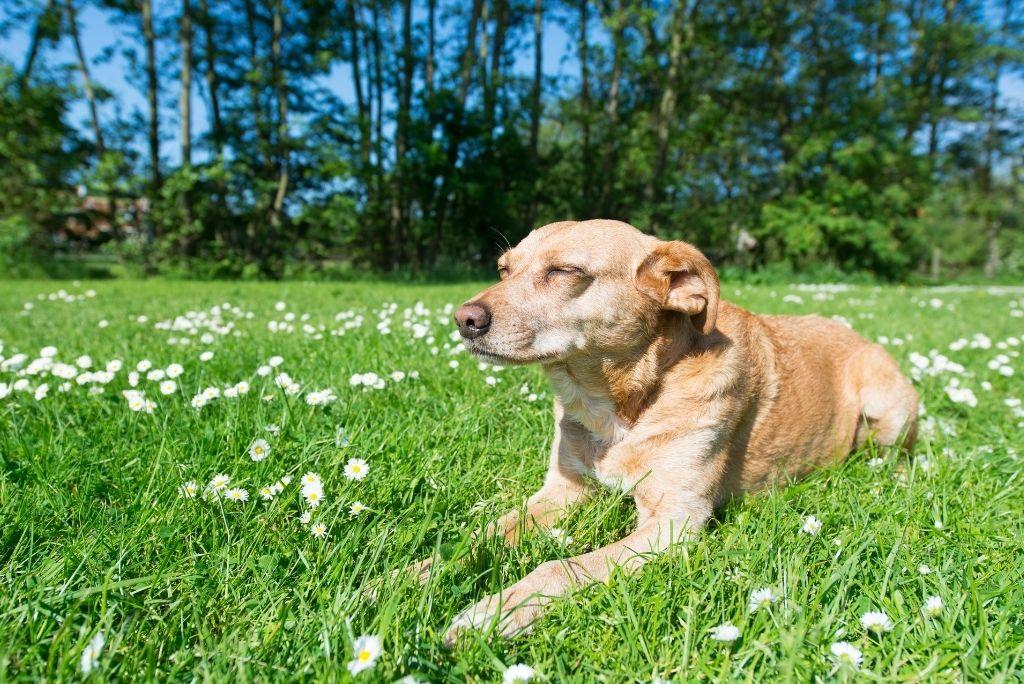 dementia-in-dogs-prevention