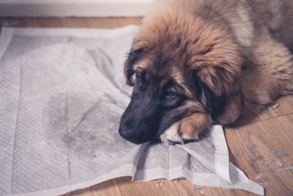 how-to-housebreak-a-dog